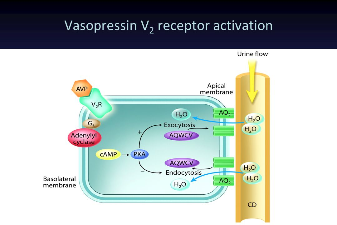 Vasopressin V2 receptor activation