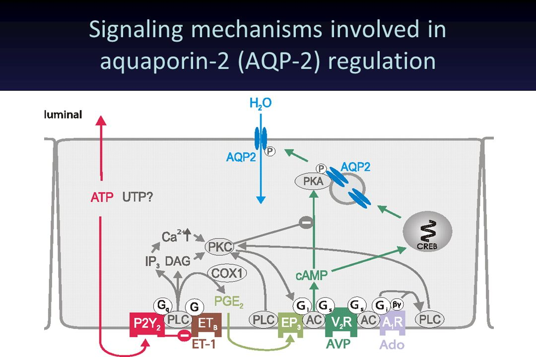 Signaling mechanisms involved in aquaporin-2 (AQP-2) regulation