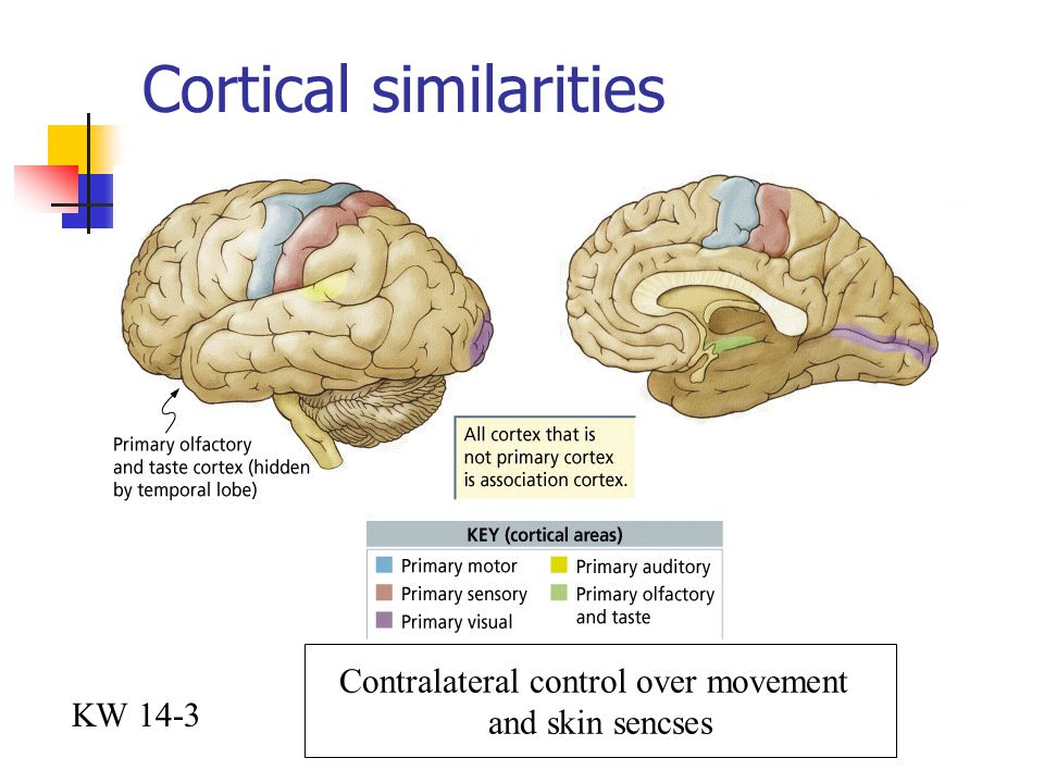 Cortical similarities