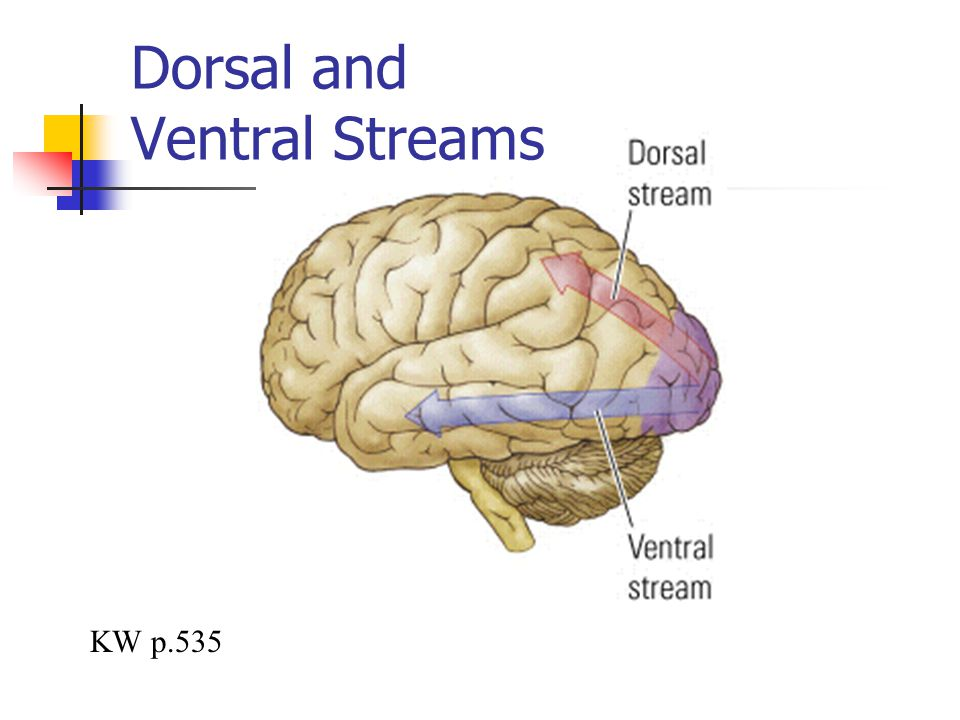 Dorsal and Ventral Streams