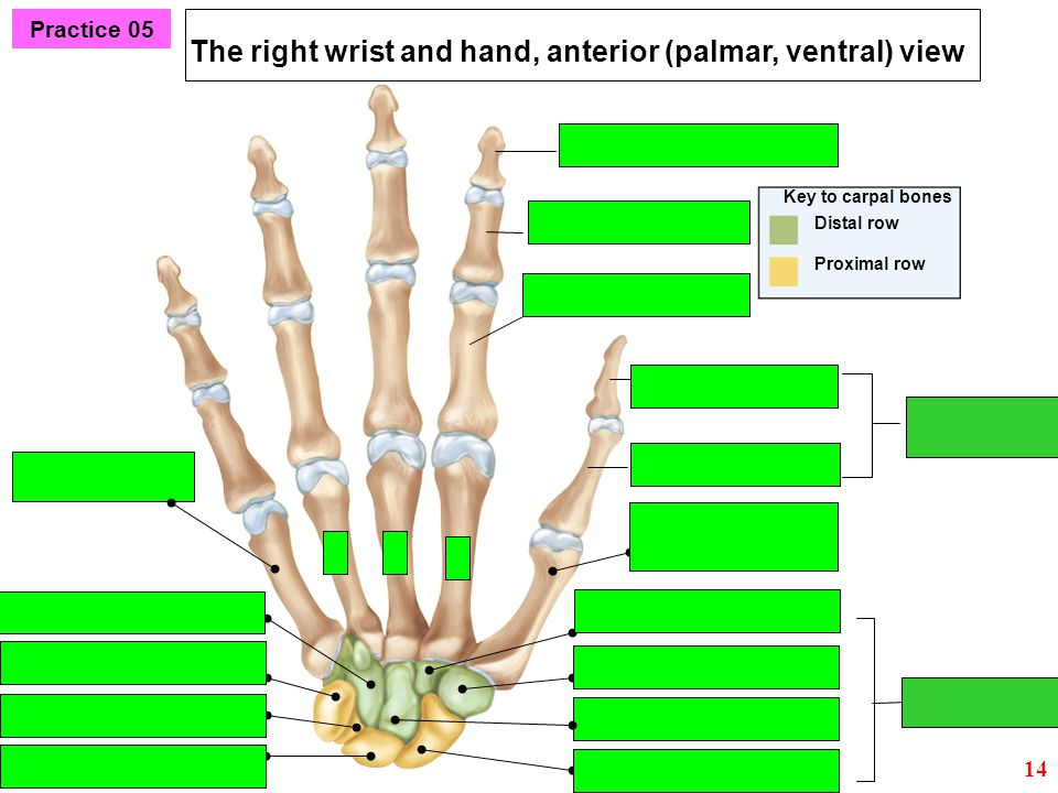 The right wrist and hand, anterior (palmar, ventral) view