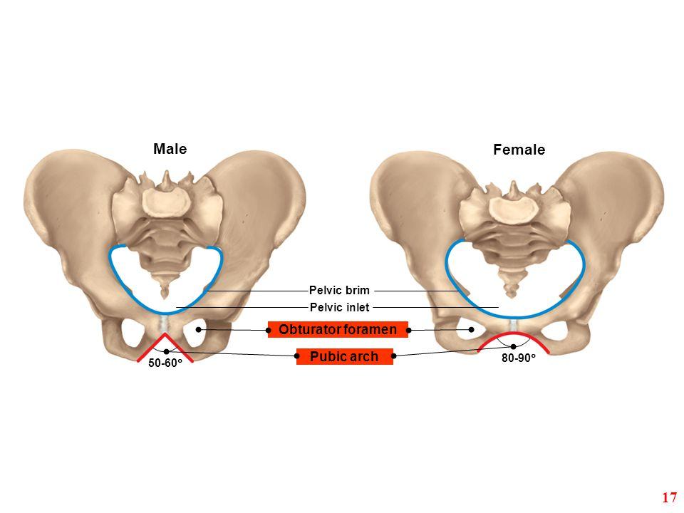 Male Female 17 Obturator foramen Pubic arch Pelvic brim Pelvic inlet
