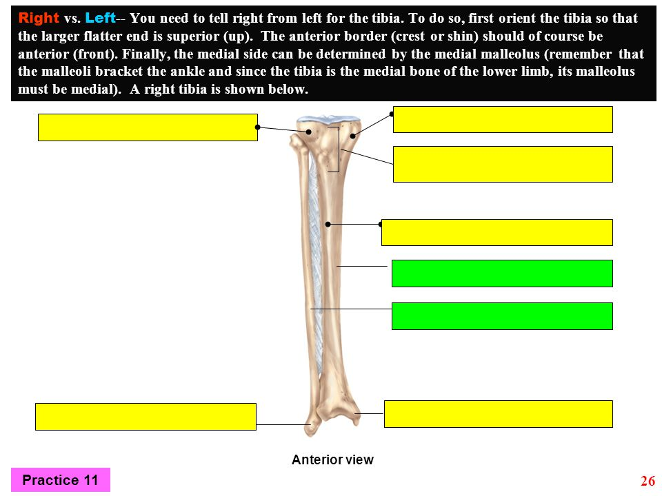 Right vs. Left-- You need to tell right from left for the tibia