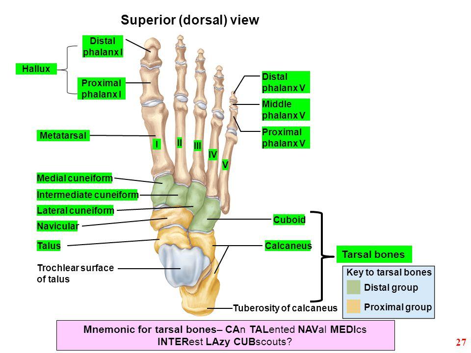 Superior (dorsal) view