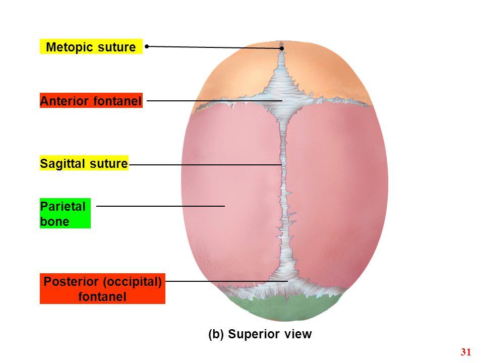 Posterior (occipital) fontanel