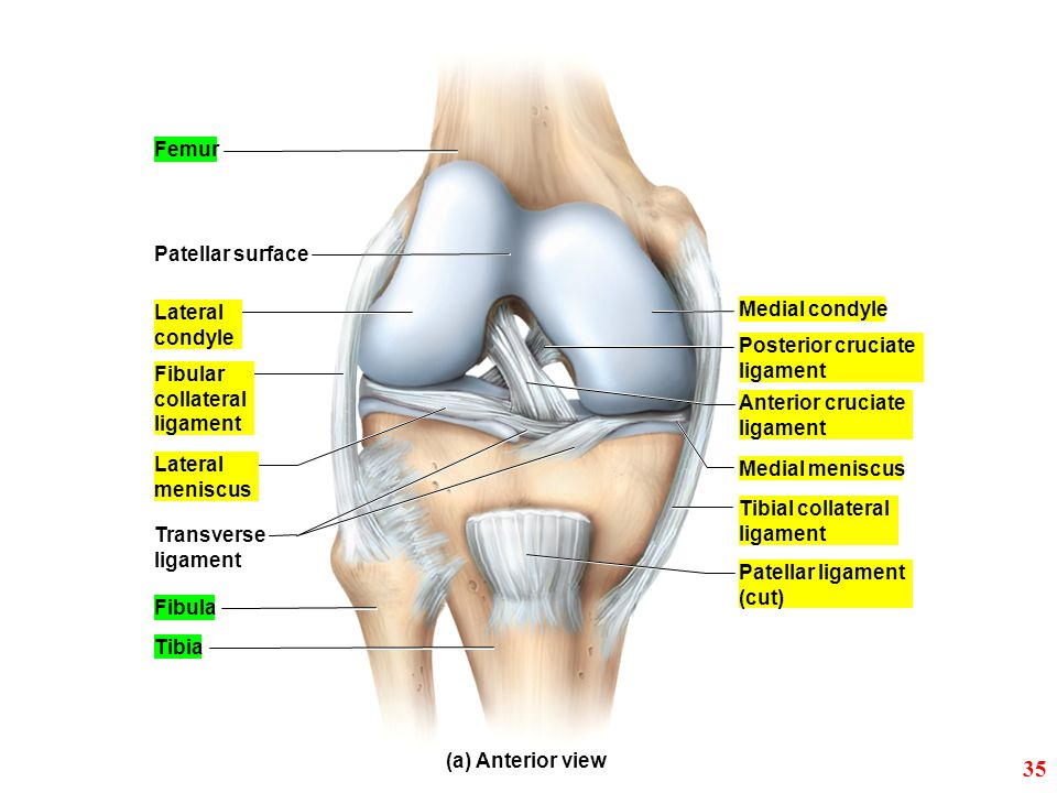 35 Femur Patellar surface Lateral Medial condyle condyle