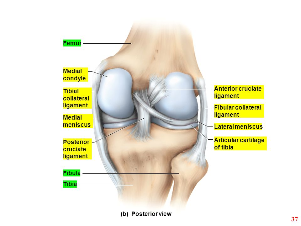 37 Femur Medial condyle Anterior cruciate Tibial ligament collateral