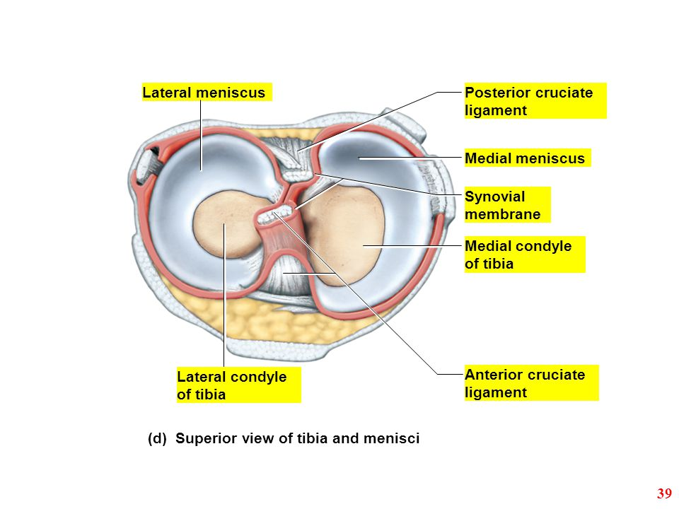 Lateral meniscus Posterior cruciate. ligament. Medial meniscus. Synovial. membrane. Medial condyle.