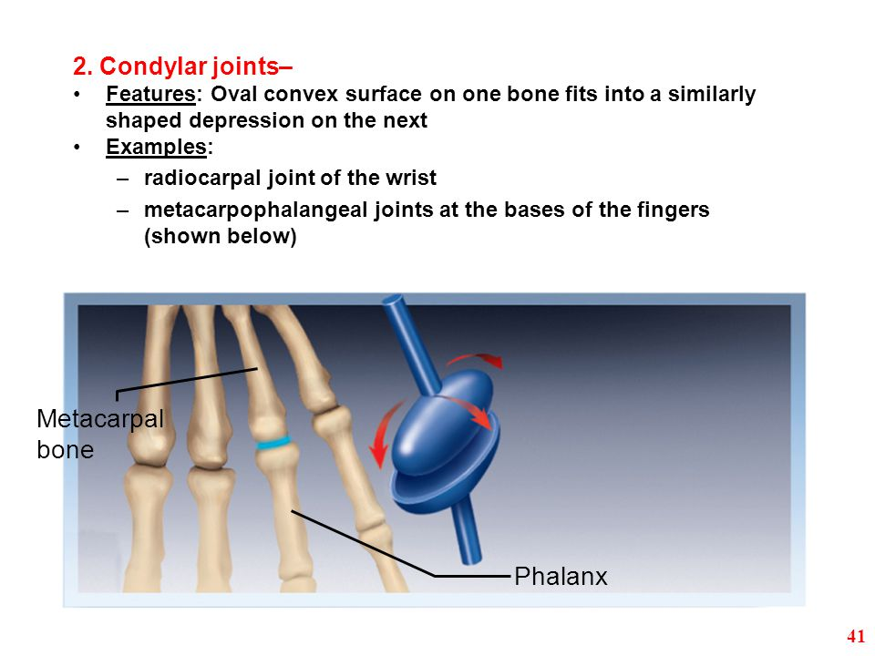Metacarpal bone Phalanx 2. Condylar joints–