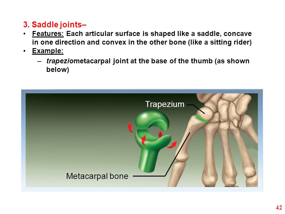 Trapezium Metacarpal bone 3. Saddle joints–