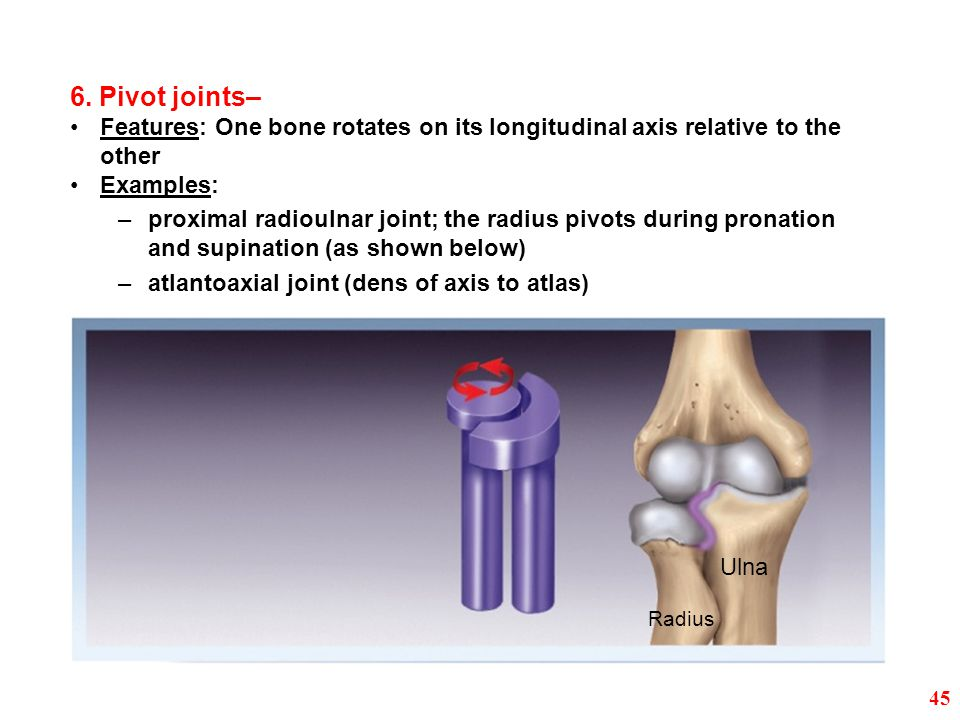 6. Pivot joints– Features: One bone rotates on its longitudinal axis relative to the other. Examples:
