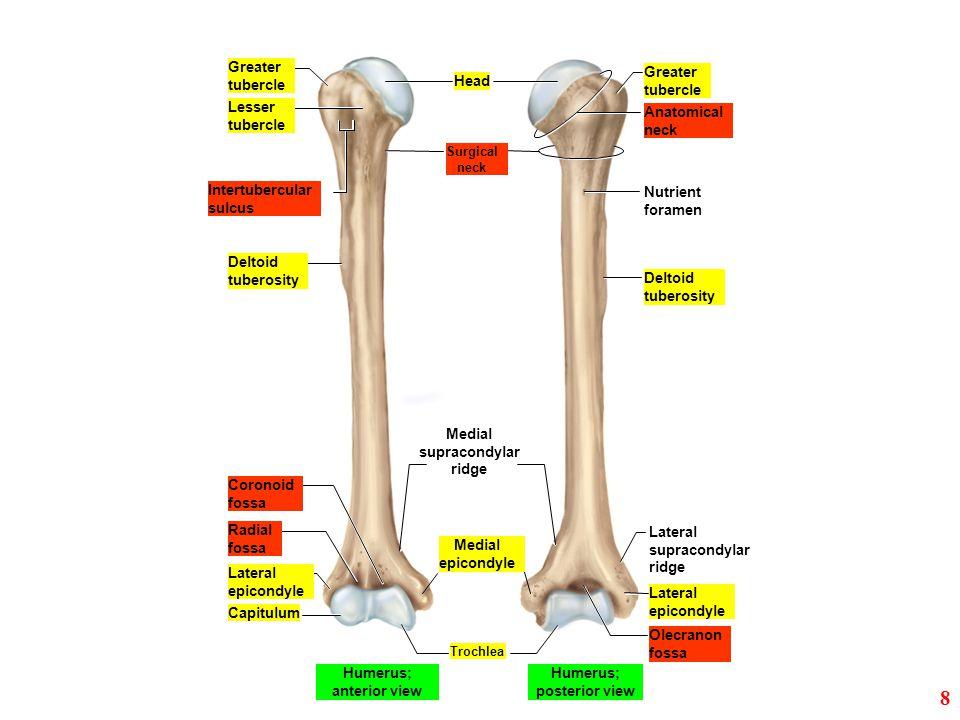 Humerus; anterior view Humerus; posterior view
