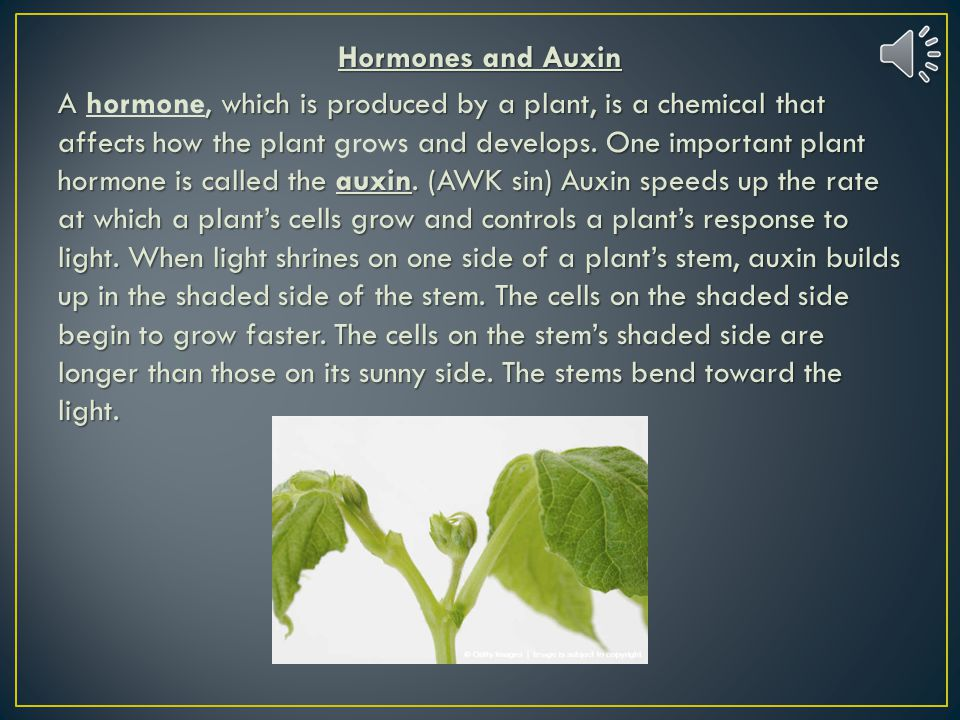 Hormones and Auxin A hormone, which is produced by a plant, is a chemical that affects how the plant grows and develops. One important plant hormone is called the auxin. (AWK sin) Auxin speeds up the rate at which a plant's cells grow and controls a plant's response to light. When light shrines on one side of a plant's stem, auxin builds up in the shaded side of the stem. The cells on the shaded side begin to grow faster. The cells on the stem's shaded side are longer than those on its sunny side. The stems bend toward the light.