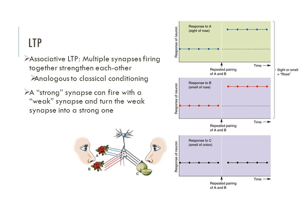 LTP Associative LTP: Multiple synapses firing together strengthen each-other. Analogous to classical conditioning.