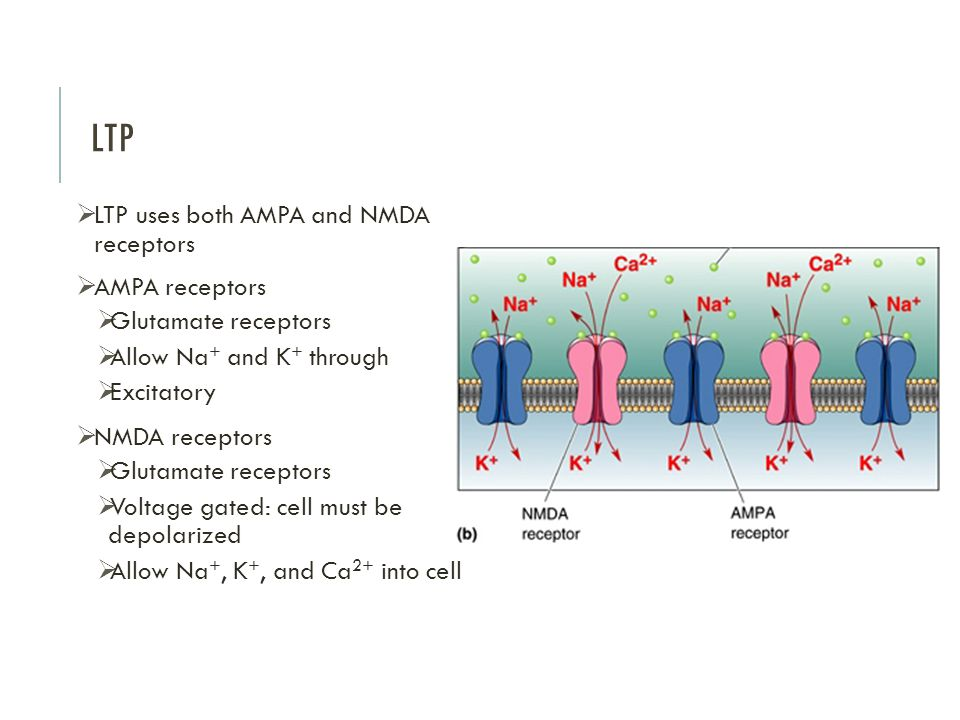 LTP LTP uses both AMPA and NMDA receptors AMPA receptors