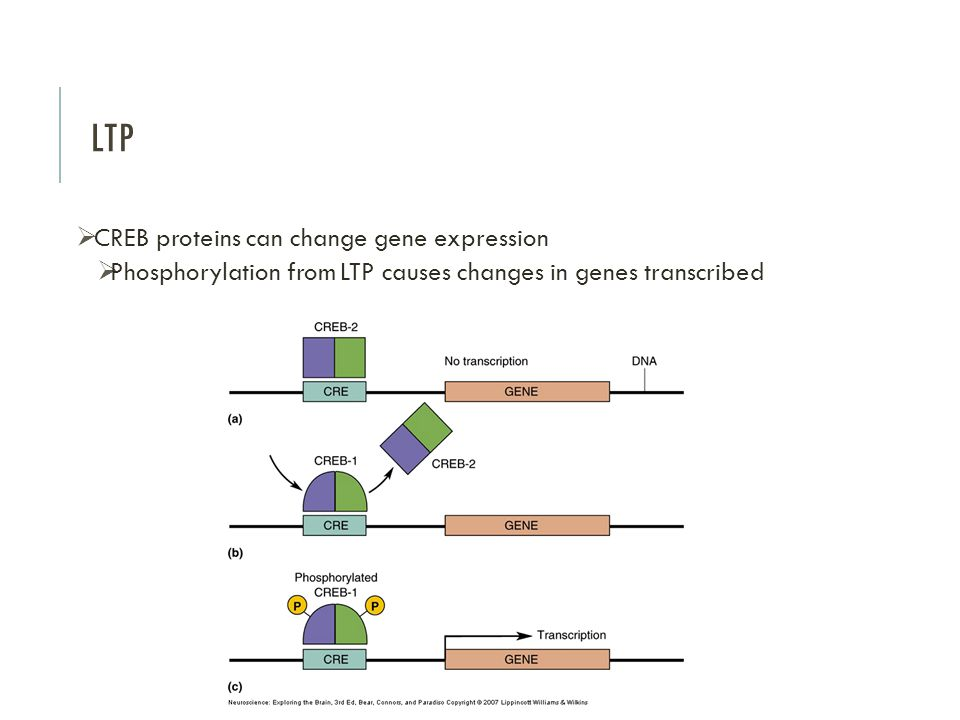 LTP CREB proteins can change gene expression