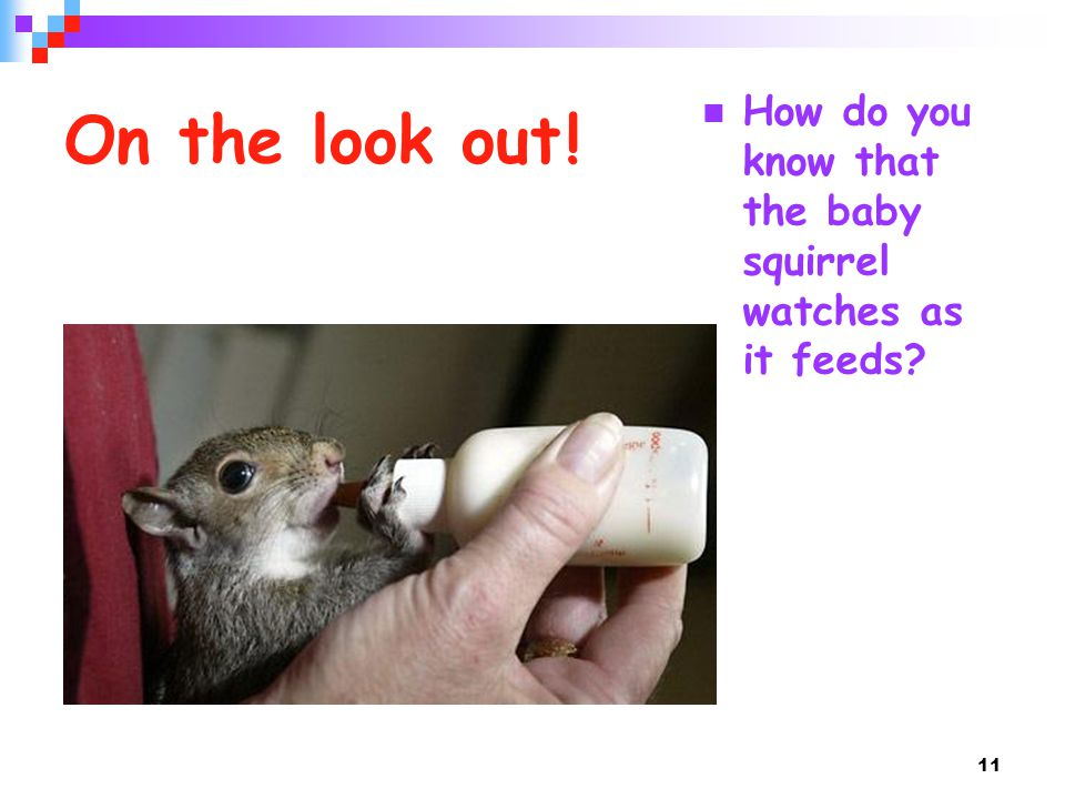 On the look out ! How do you know that the baby squirrel watches as it feeds