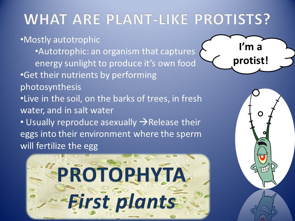 WHAT ARE PLANT-LIKE PROTISTS