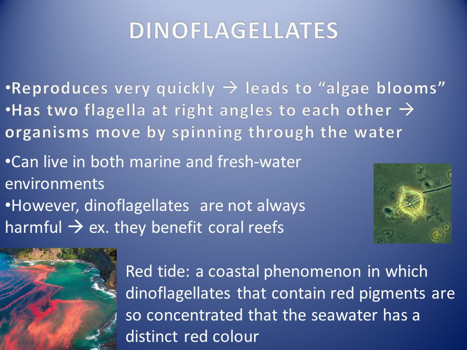 DINOFLAGELLATES Reproduces very quickly  leads to algae blooms