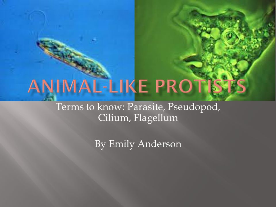 Terms to know: Parasite, Pseudopod, Cilium, Flagellum