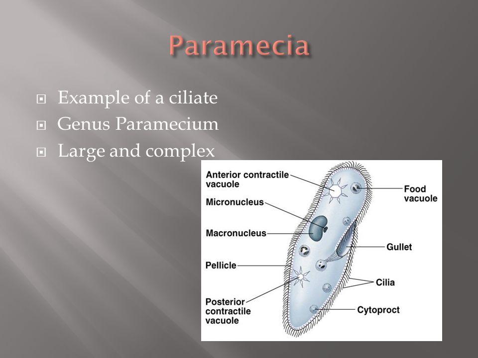 Paramecia Example of a ciliate Genus Paramecium Large and complex
