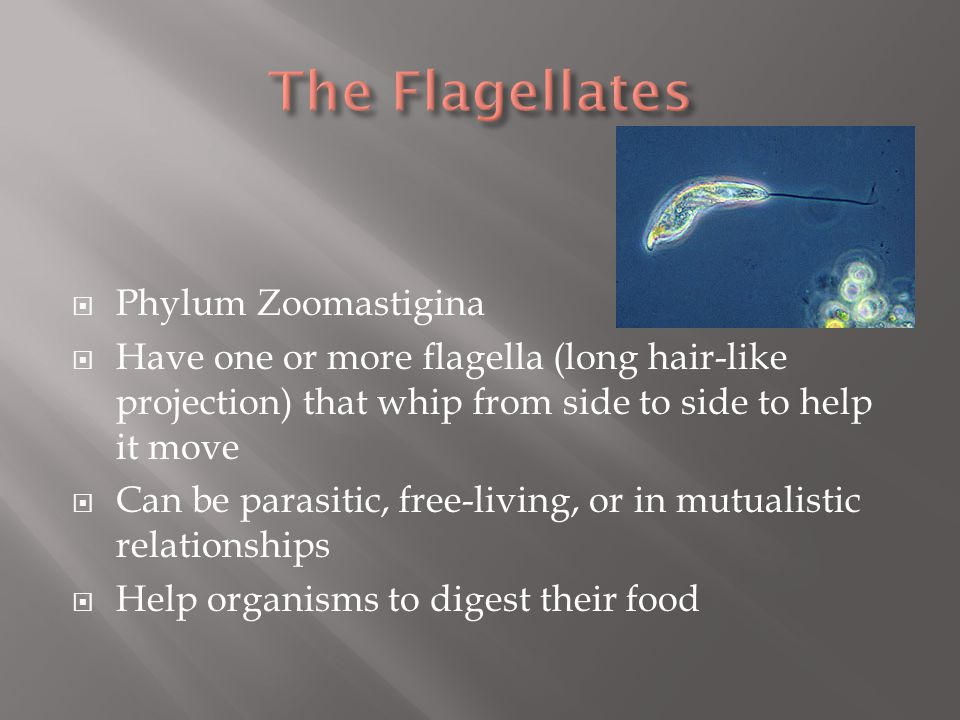 The Flagellates Phylum Zoomastigina