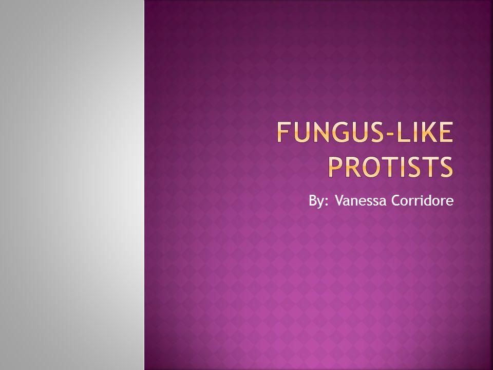 Fungus-like Protists By: Vanessa Corridore