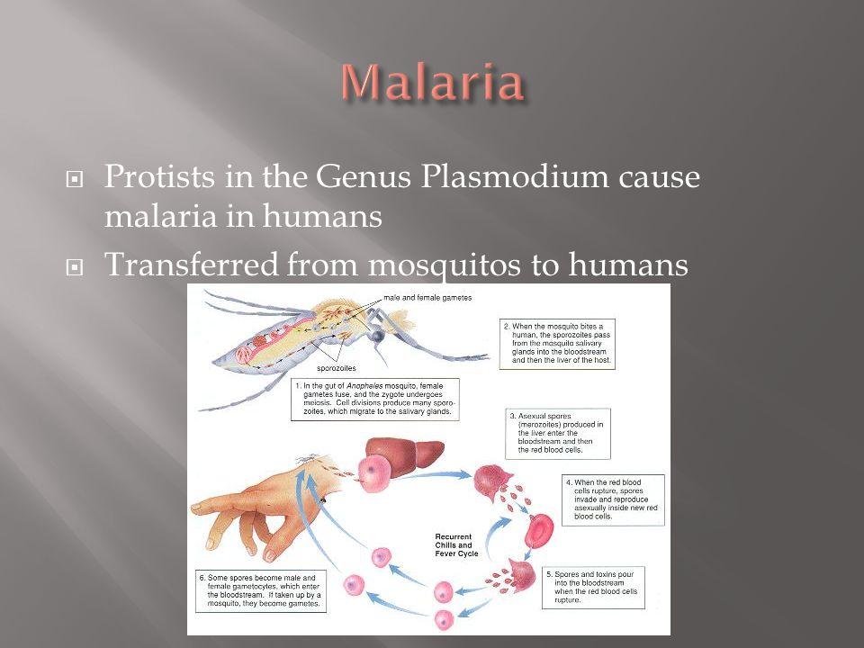 Malaria Protists in the Genus Plasmodium cause malaria in humans