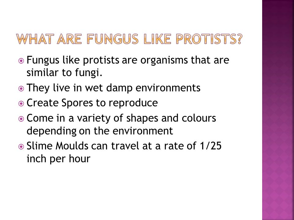 What Are fungus Like Protists