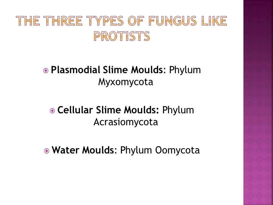 The Three types of fungus like protists