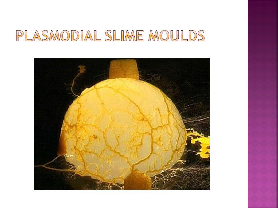 Plasmodial Slime Moulds