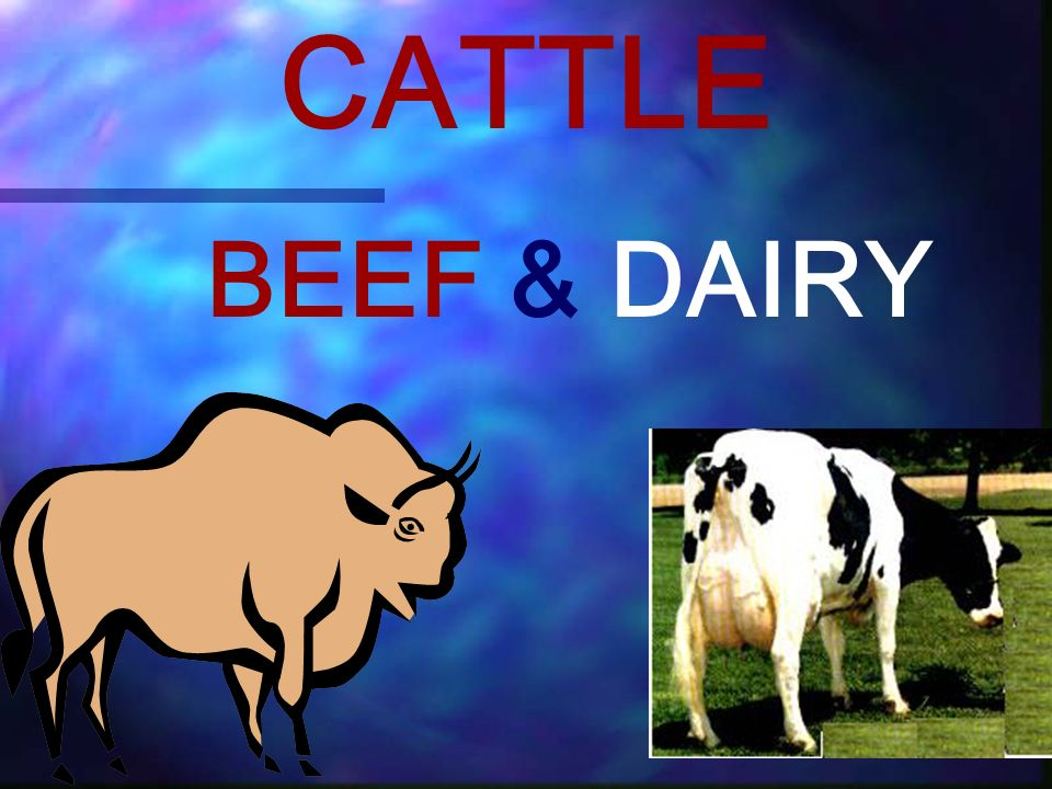 CATTLE BEEF & DAIRY