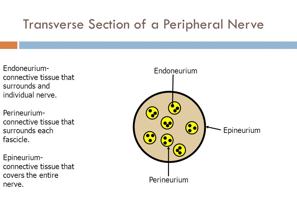 Transverse Section of a Peripheral Nerve