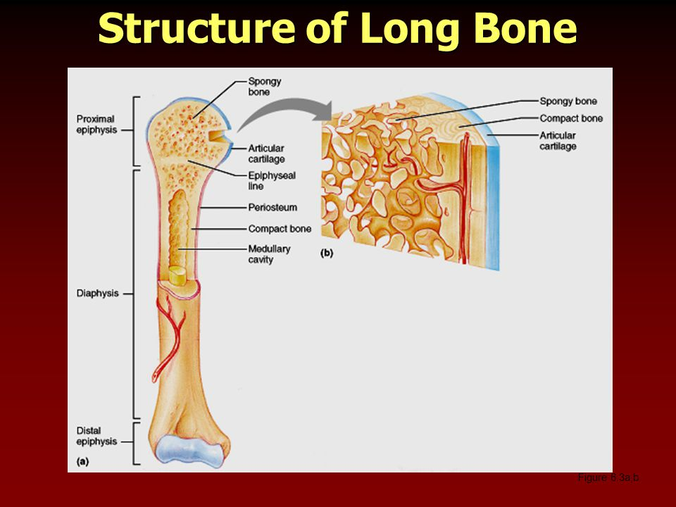 Structure of Long Bone Figure 6.3a,b