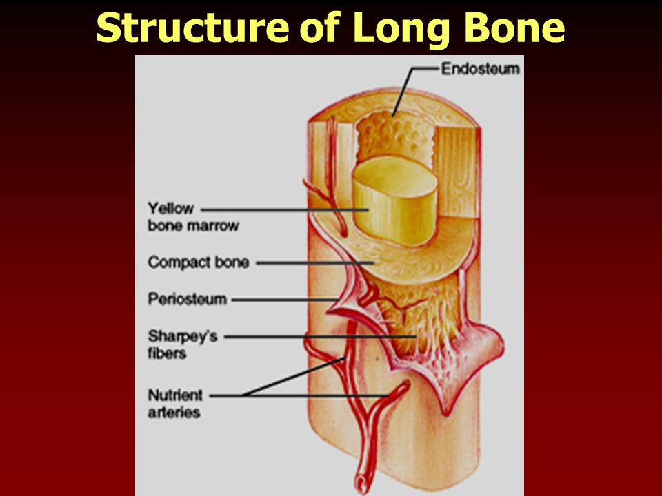 Structure of Long Bone