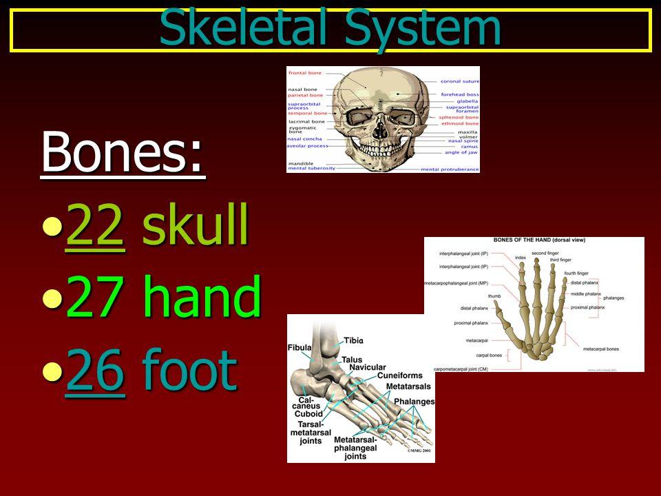 Skeletal System Bones: 22 skull 27 hand 26 foot