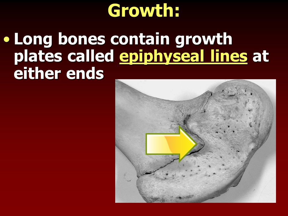 Growth: Long bones contain growth plates called epiphyseal lines at either ends