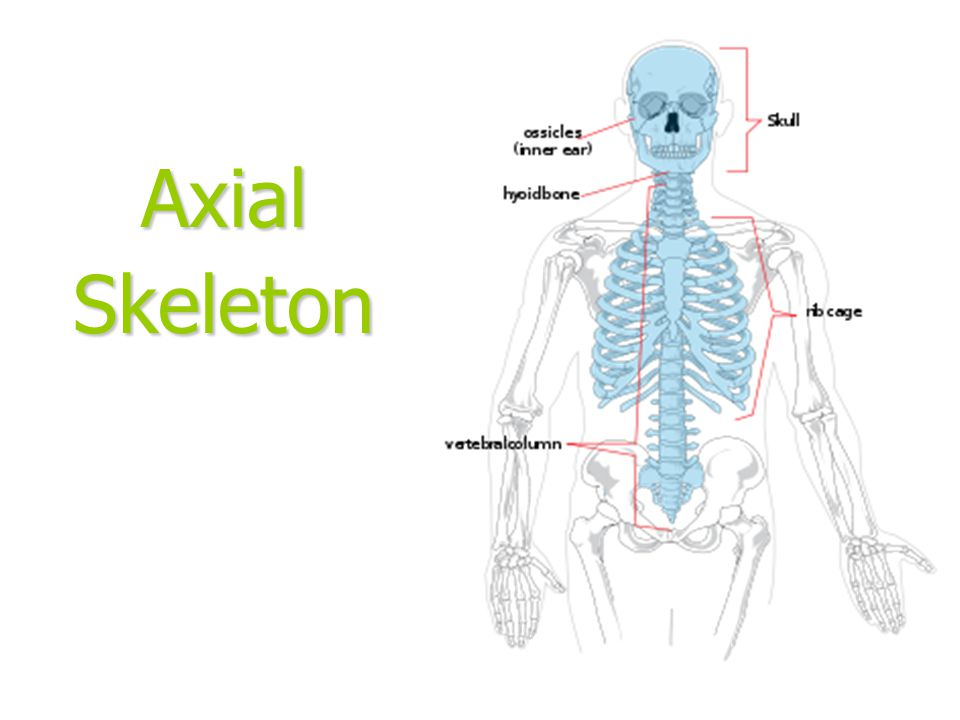 Axial Skeleton
