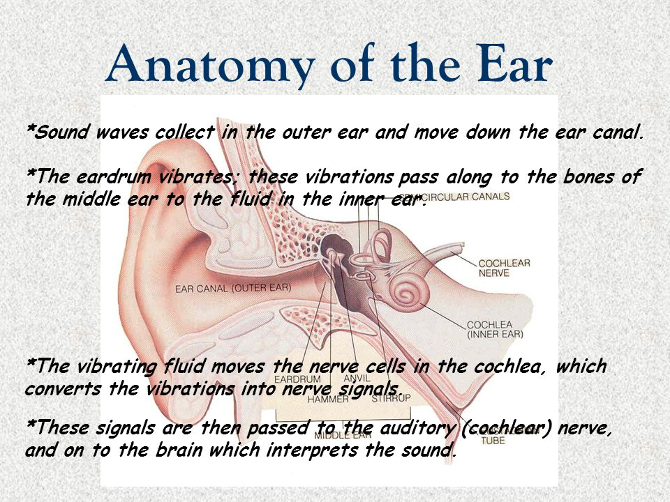 Anatomy of the Ear *Sound waves collect in the outer ear and move down the ear canal.