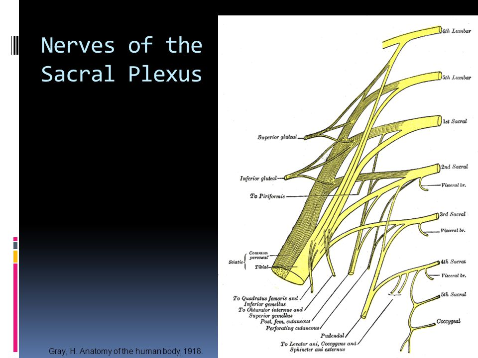 Nerves of the Sacral Plexus