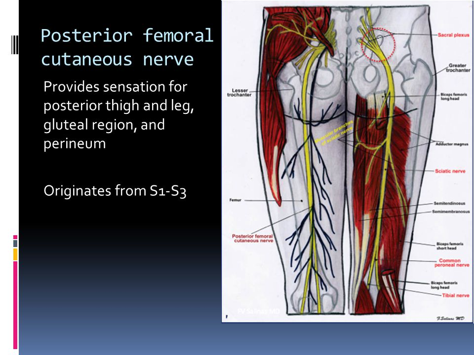 Posterior femoral cutaneous nerve