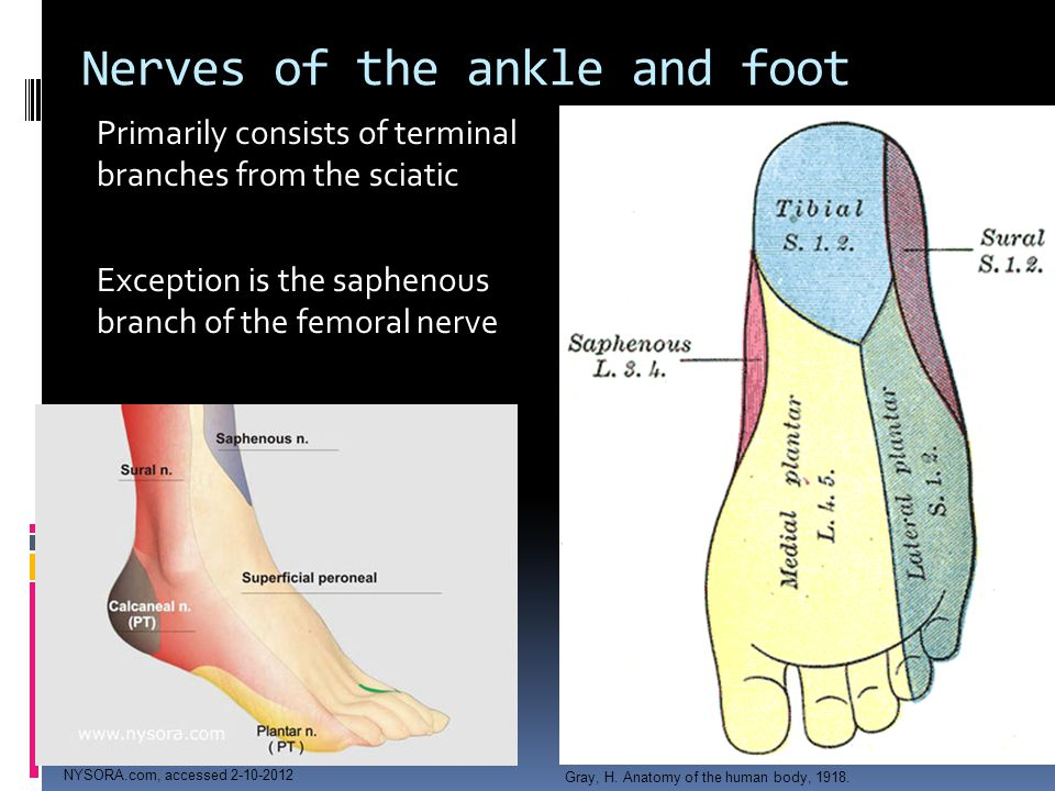 Nerves of the ankle and foot