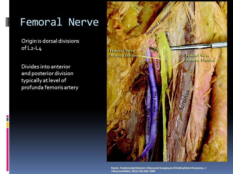 Femoral Nerve Origin is dorsal divisions of L2-L4