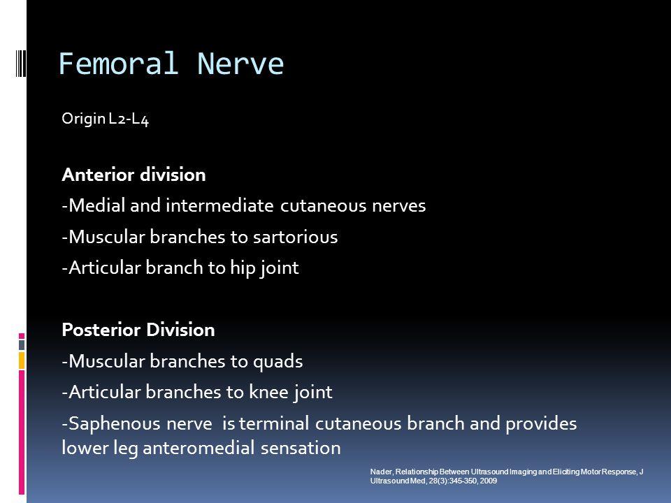 Femoral Nerve Anterior division