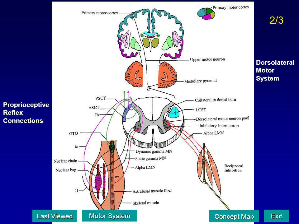 2/3 Dorsolateral Motor System Proprioceptive Reflex Connections
