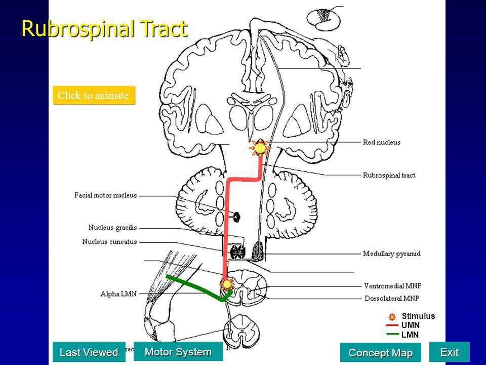 Rubrospinal Tract Click to animate Last Viewed Motor System