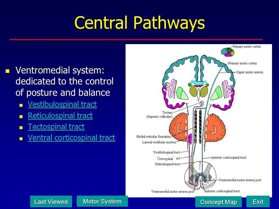 Central Pathways Tectospinal. Ventromedial system: dedicated to the control of posture and balance.