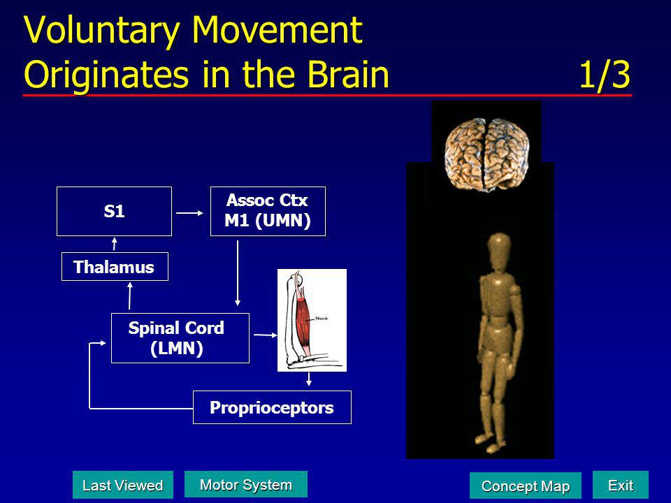 Voluntary Movement Originates in the Brain 1/3