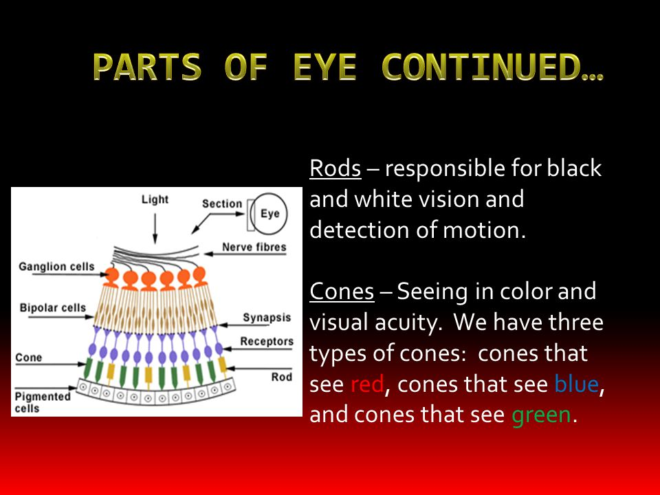 PARTS OF EYE CONTINUED…