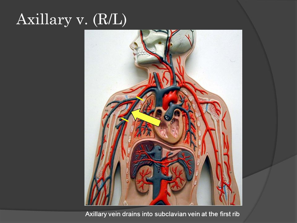 Axillary v. (R/L) Axillary vein drains into subclavian vein at the first rib
